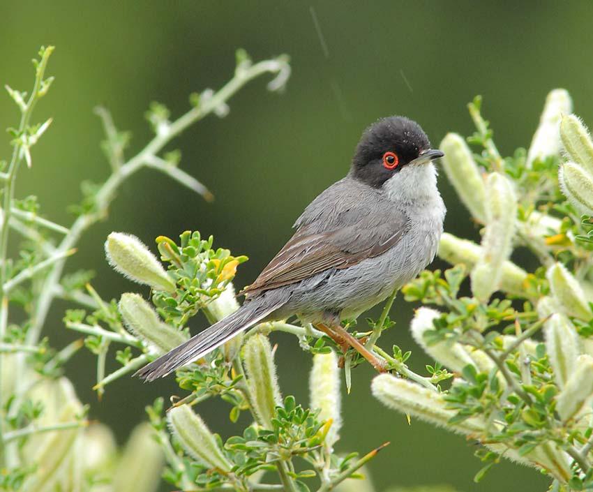 Sardinian-Warbler-72044211