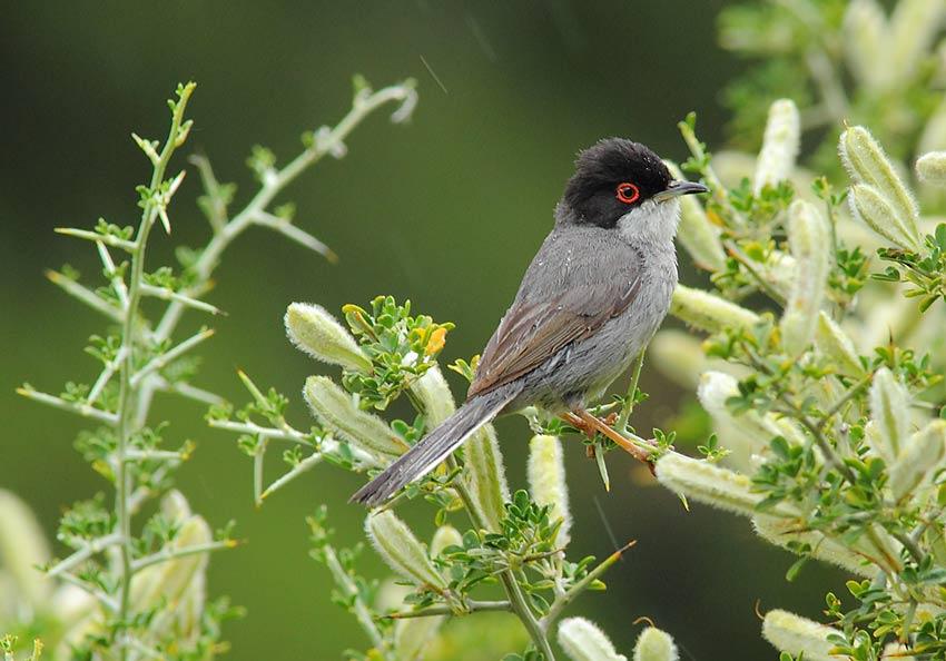 Sardinian-Warbler-72194214