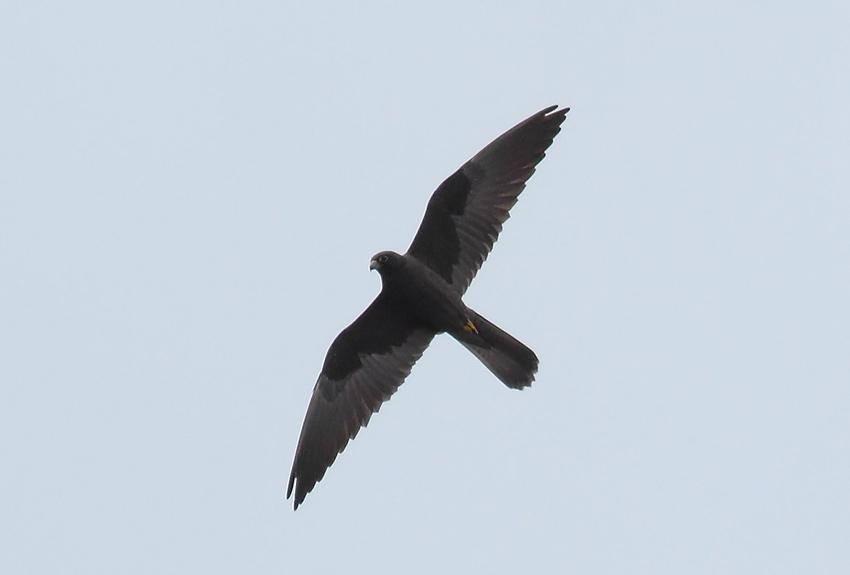 s-Falcon-76694193