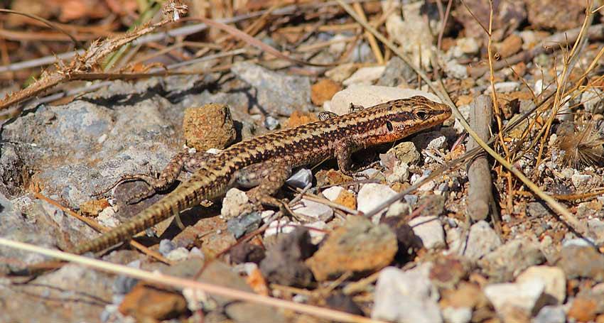 s-Wall-Lizard-73624205