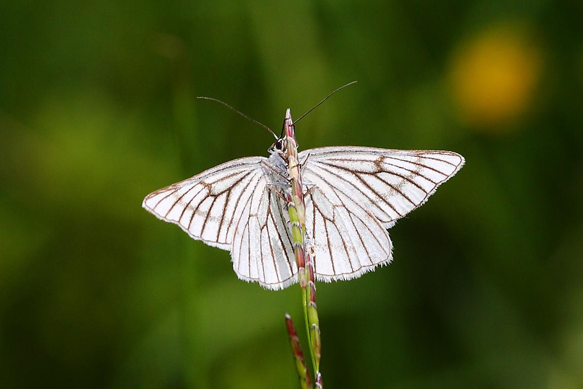 Black-veined Moth 6923327
