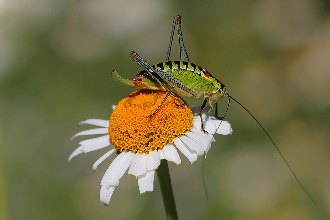 Cricket-species-9329314