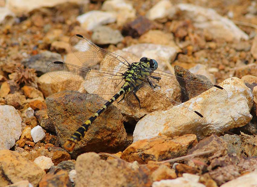 Dragonfly-sp-71774227