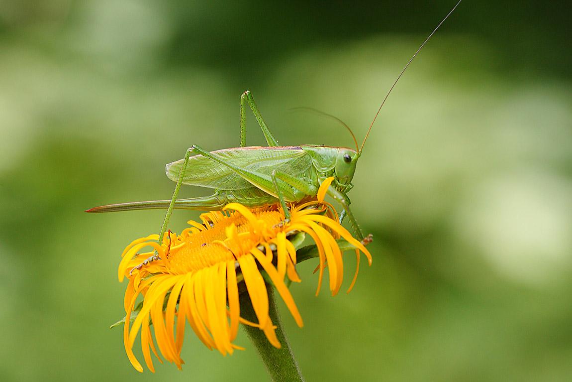 Green Bush Cricket 7358319