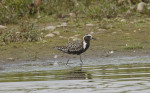 Another Inland Pacific Golden Plover