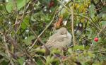 Britain's 3rd Masked Shrike