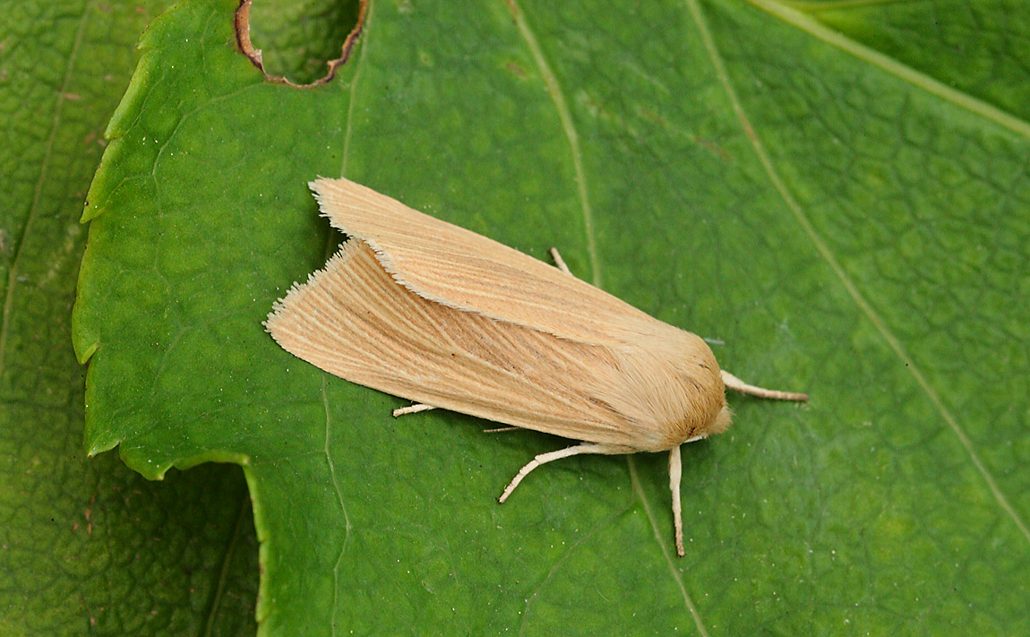 Common Wainscot 7649480