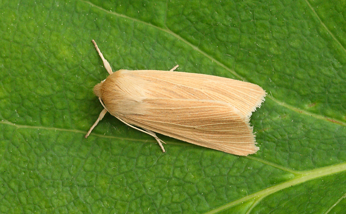 Common Wainscot 7655481