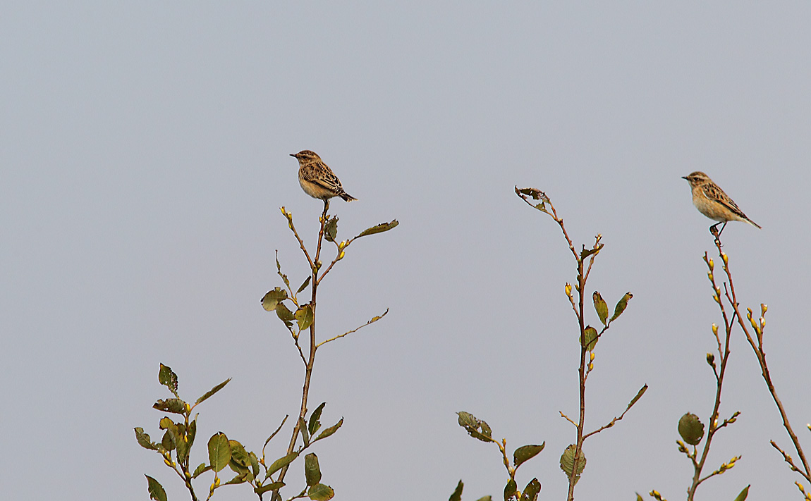 Whinchat7485462