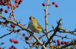 Two Rare Warblers at Donna Nook