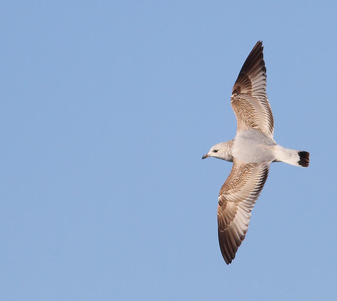 Common Gull 1stw 8412567