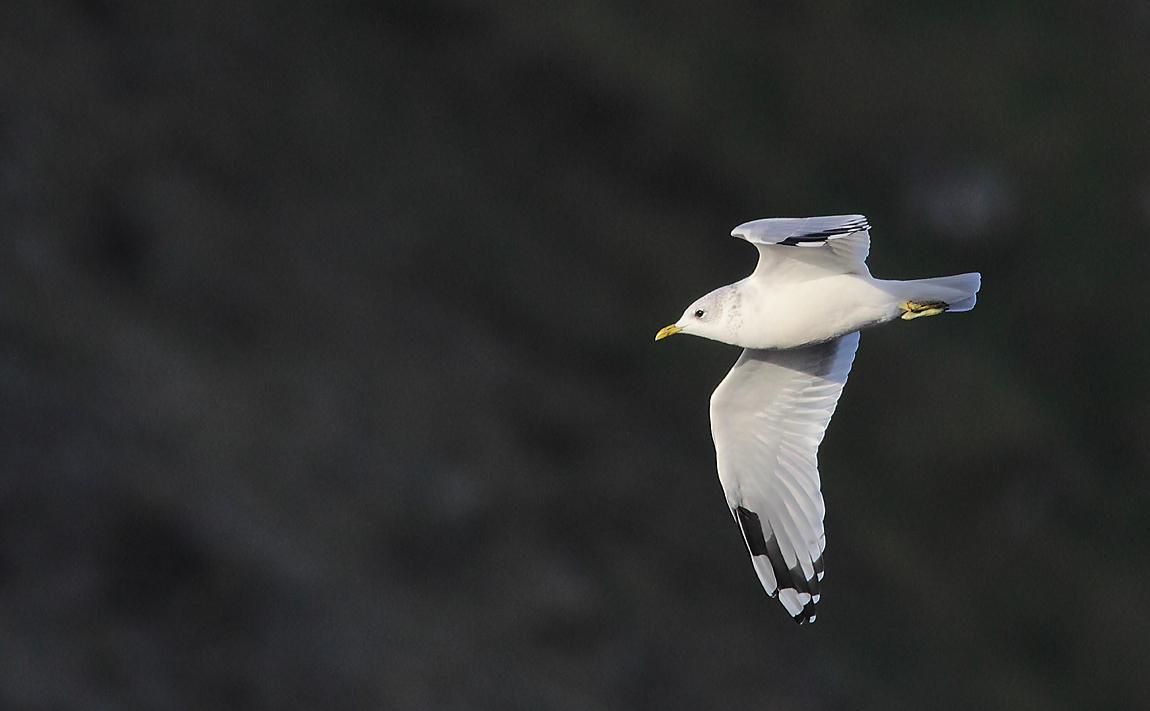 Common Gull 8583549