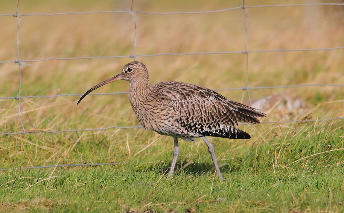 Curlew 7895570