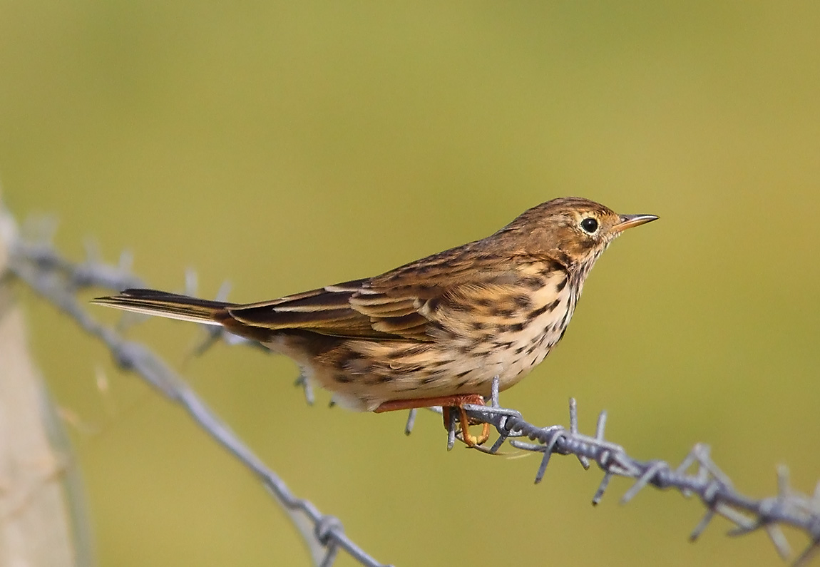 Meadow Pipit 8173568