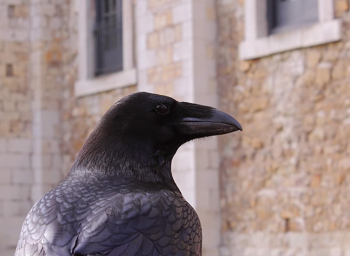 Raven 1787656