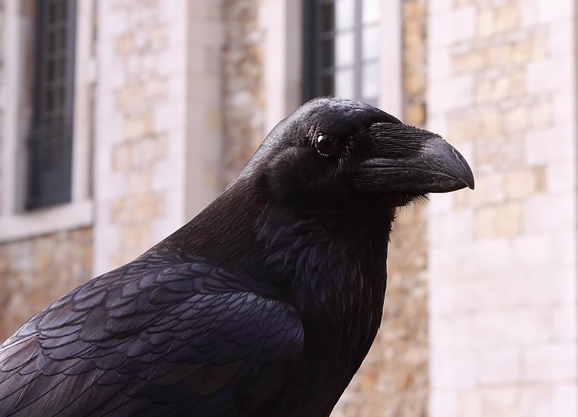 Raven 1796655