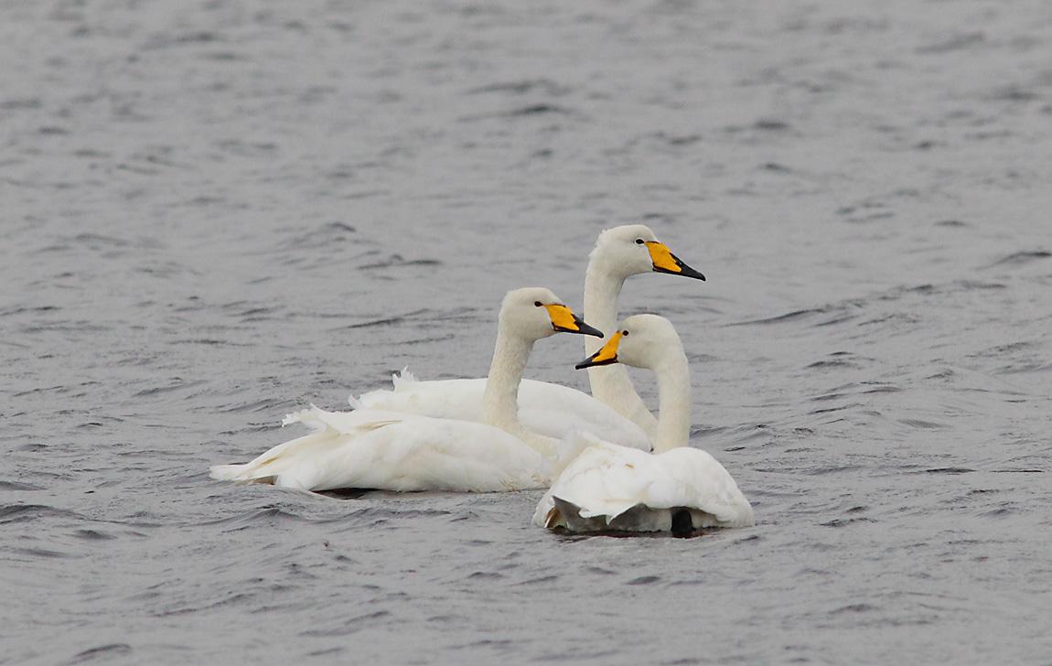 Whooper Swan 8083536