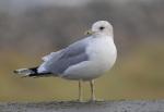 King Canute's bird