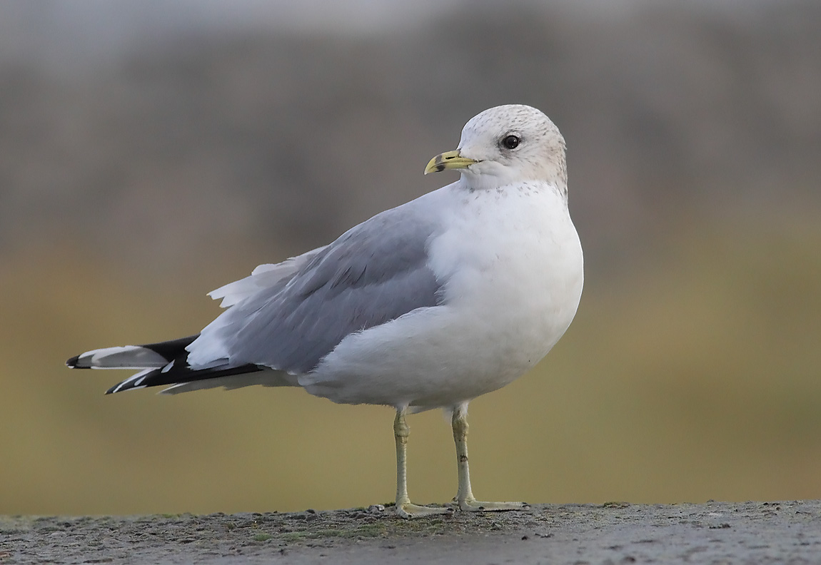 Common Gull 0532759