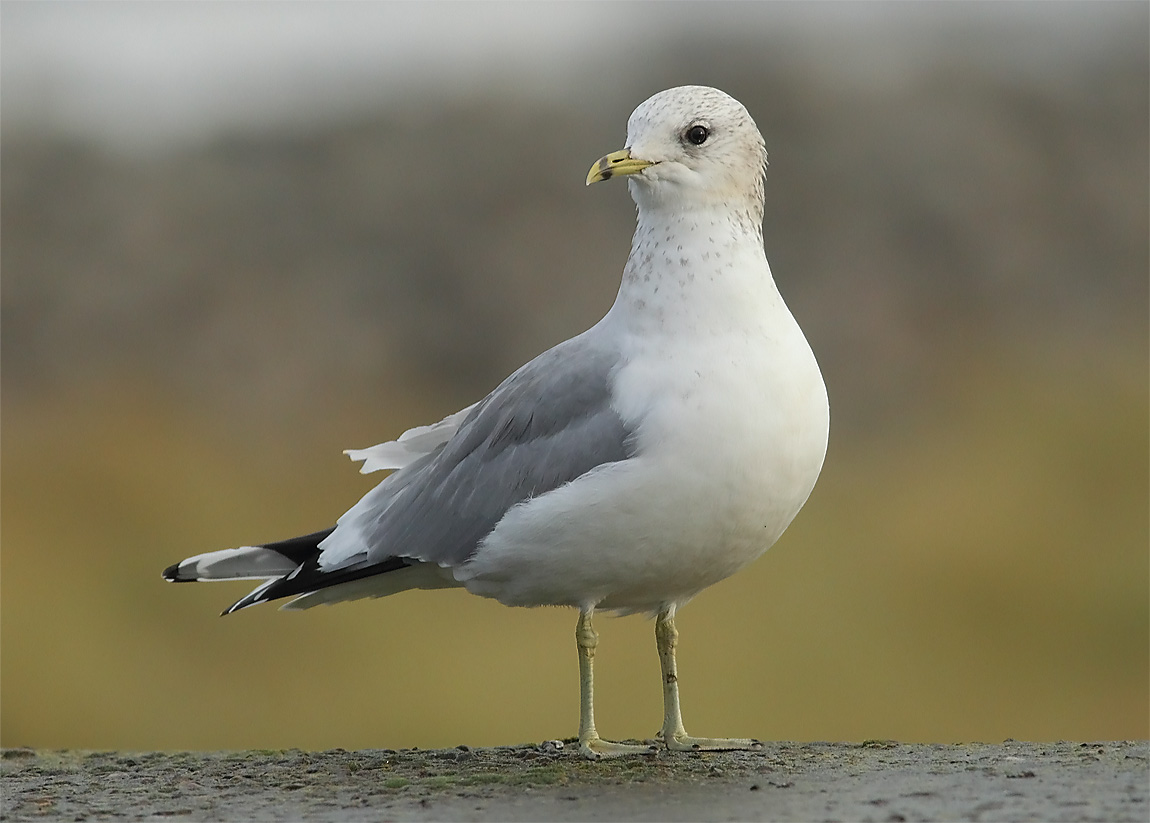 Common Gull 0534757