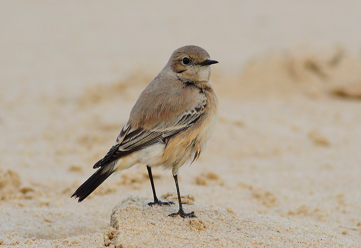 Desert Wheatear female 0231730