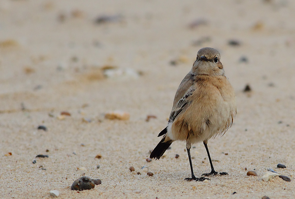 Desert Wheatear female 0233731