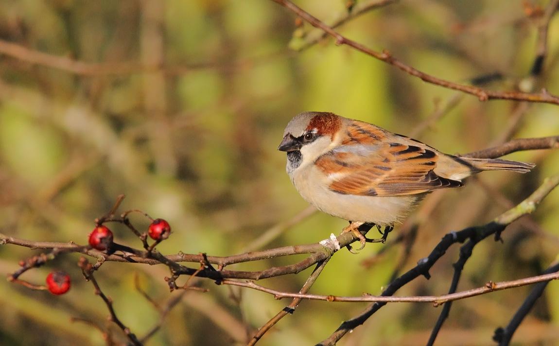 House Sparrow 0992789