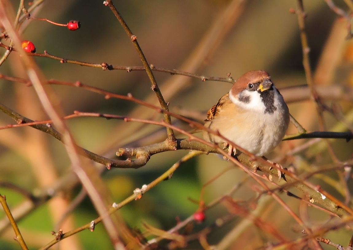 Tree Sparrow -862794