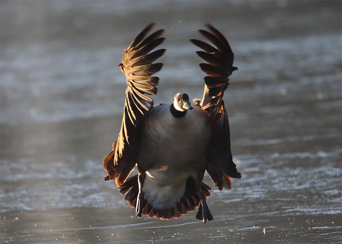 Canada Goose 0644887