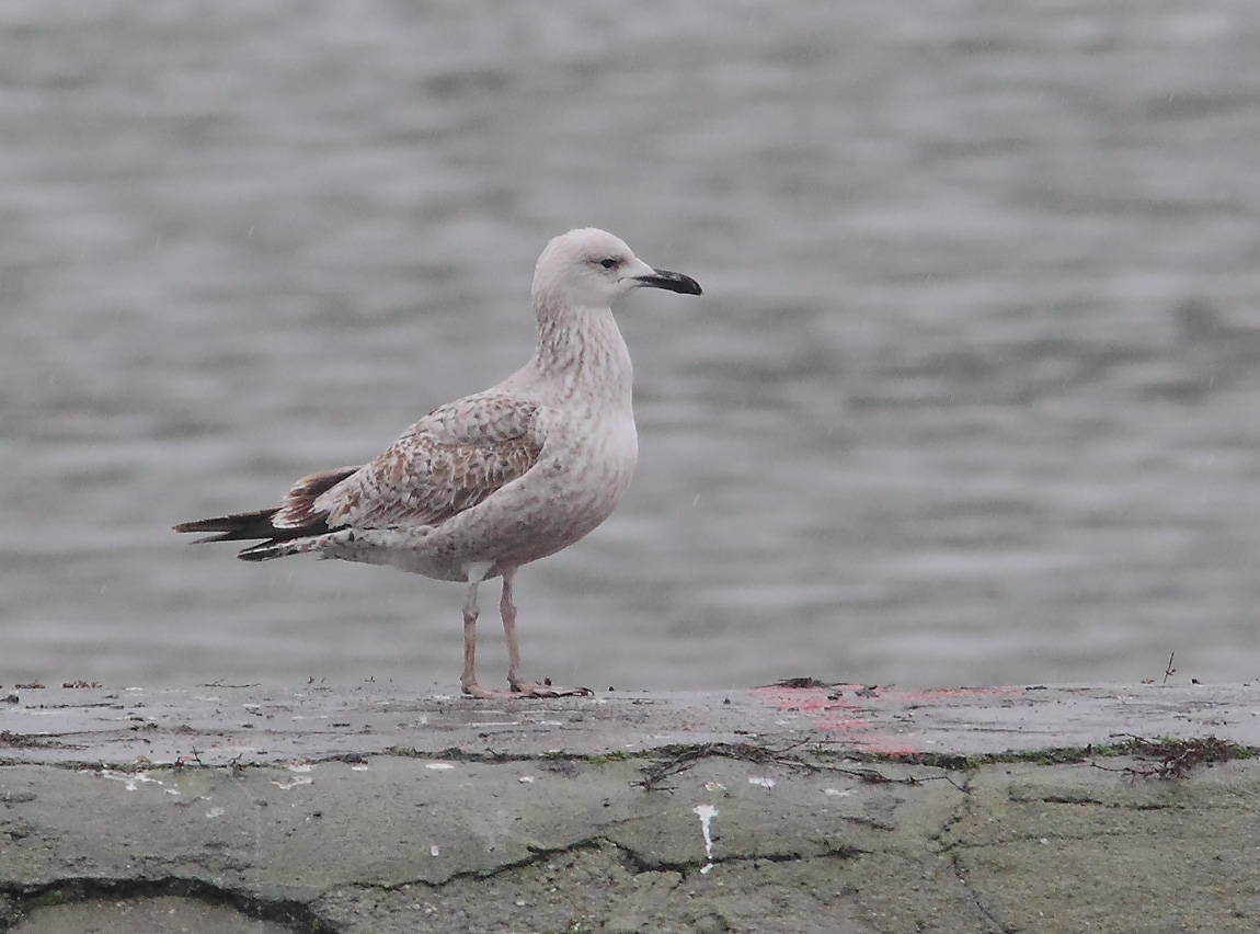 Caspian Gull 1stw 7797835