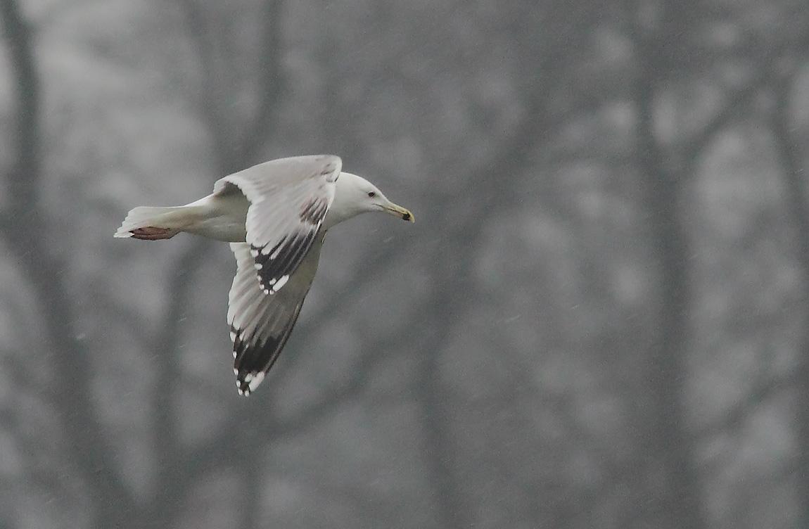 Caspian Gull 3rdw7736830