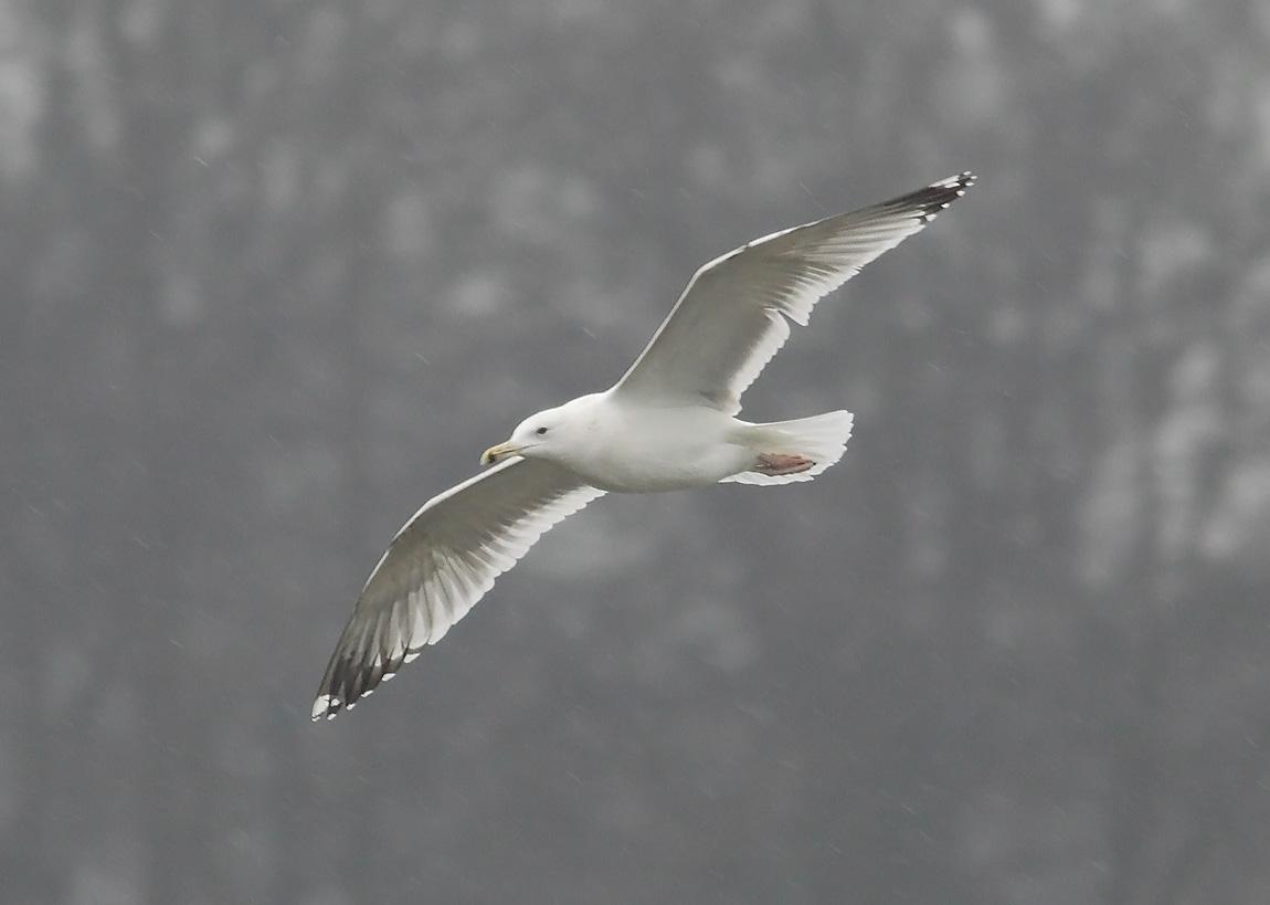 Caspian Gull 7740832