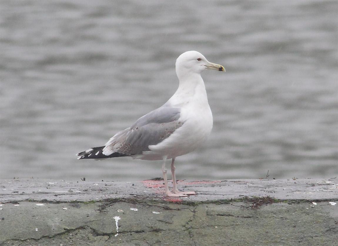 Caspian Gull 7765833