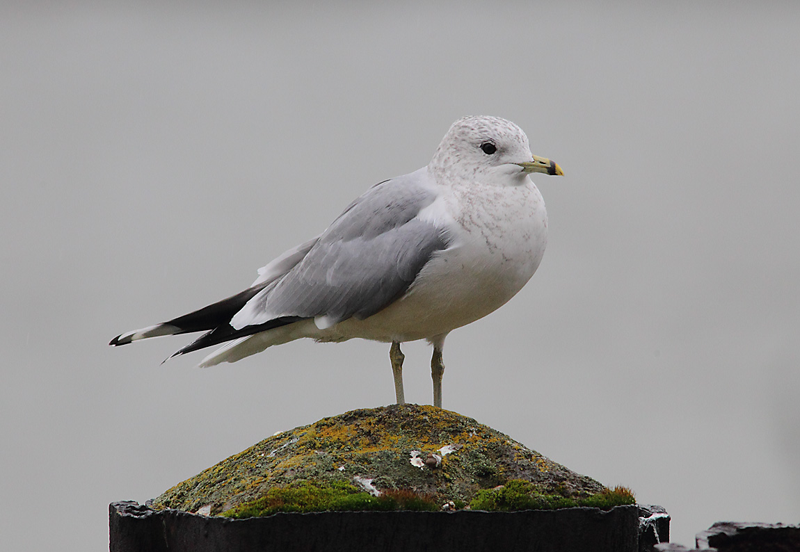 Common Gull 7733829