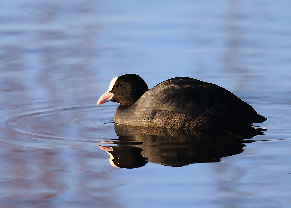 Coot 0535877