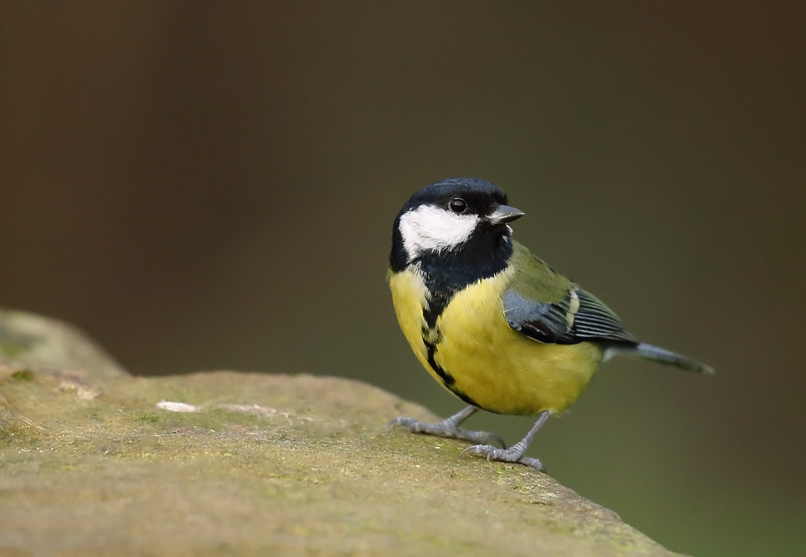 Great Tit 0174869