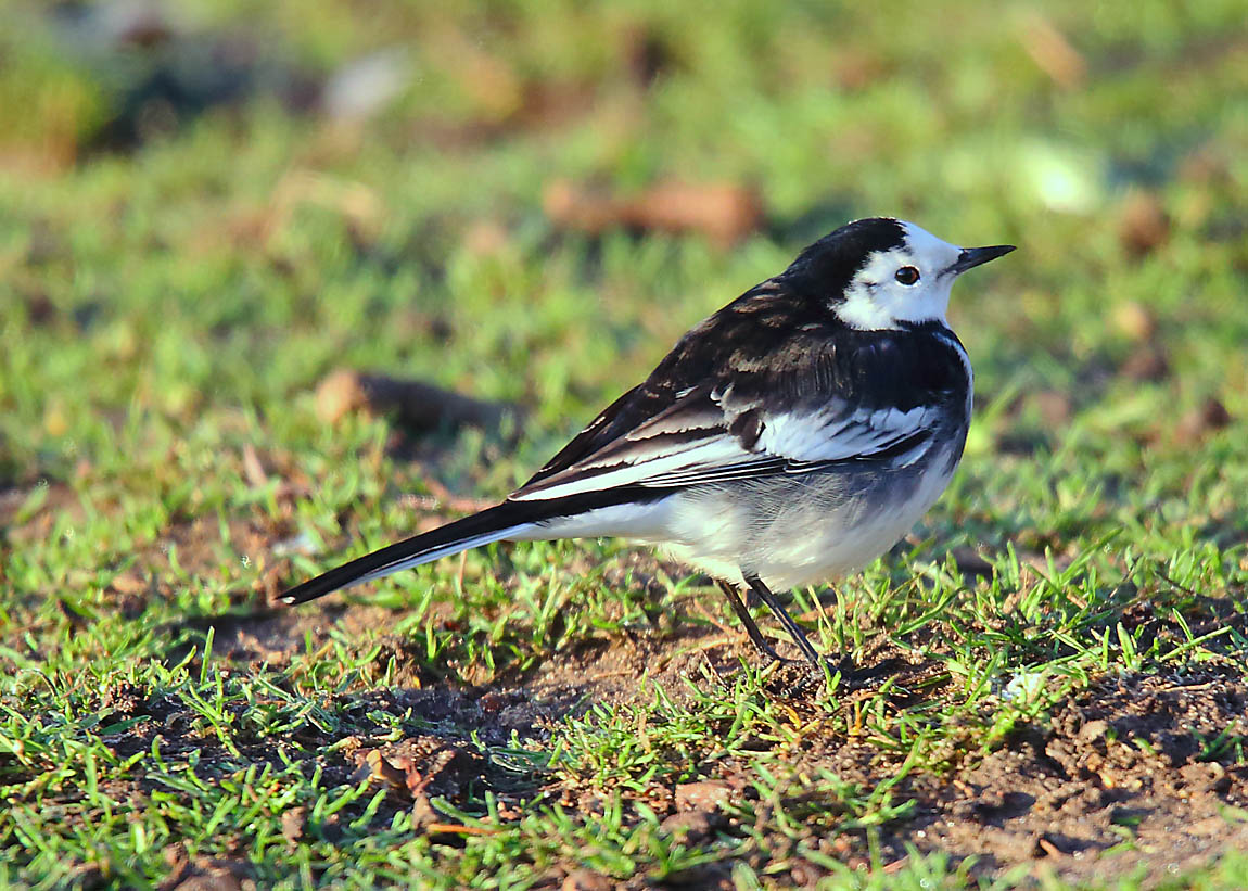 Pied Wagtail 0431878