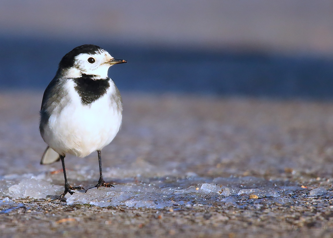 Pied Wagtail 0564882