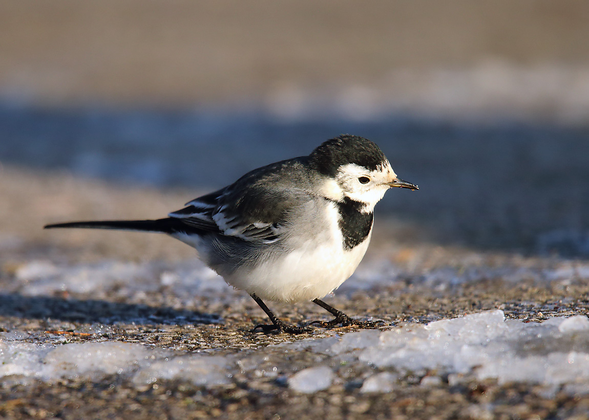 Pied Wagtail 0577883