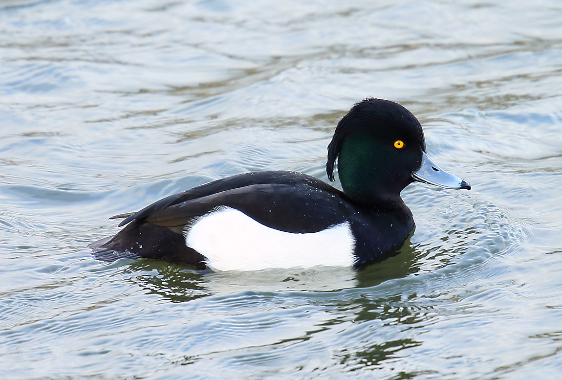 Tufted Duck 0079865