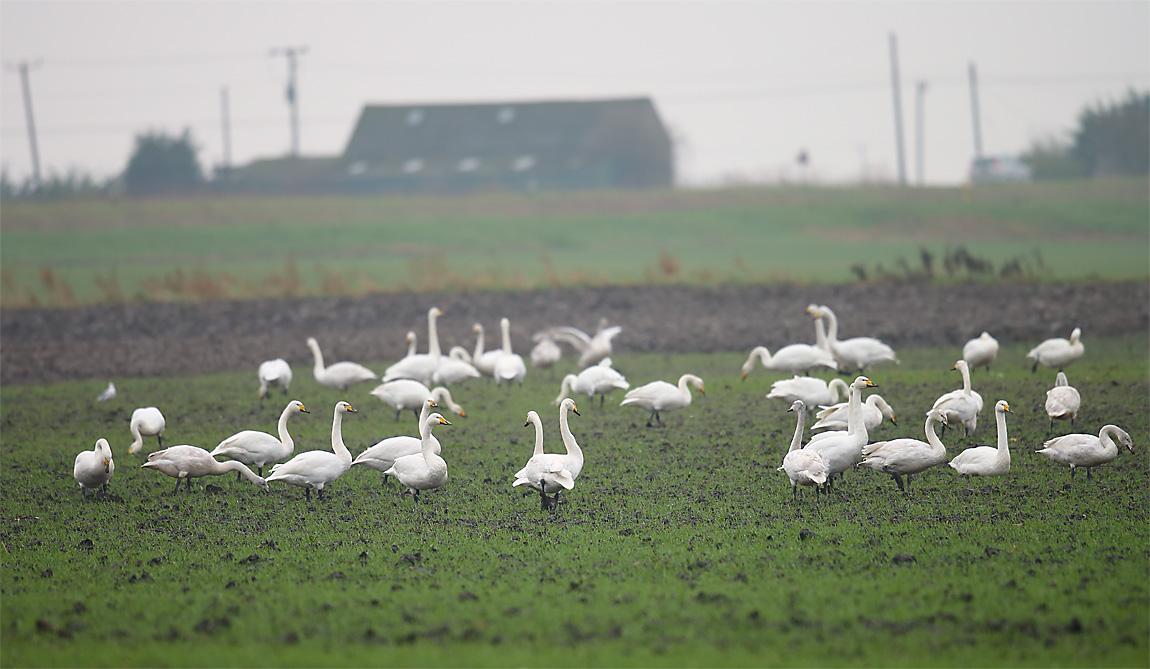Wild Swans 0295875