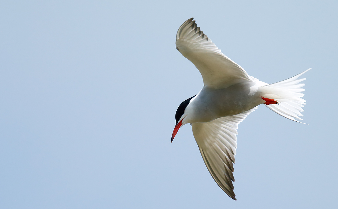 Common Tern_J4X2981