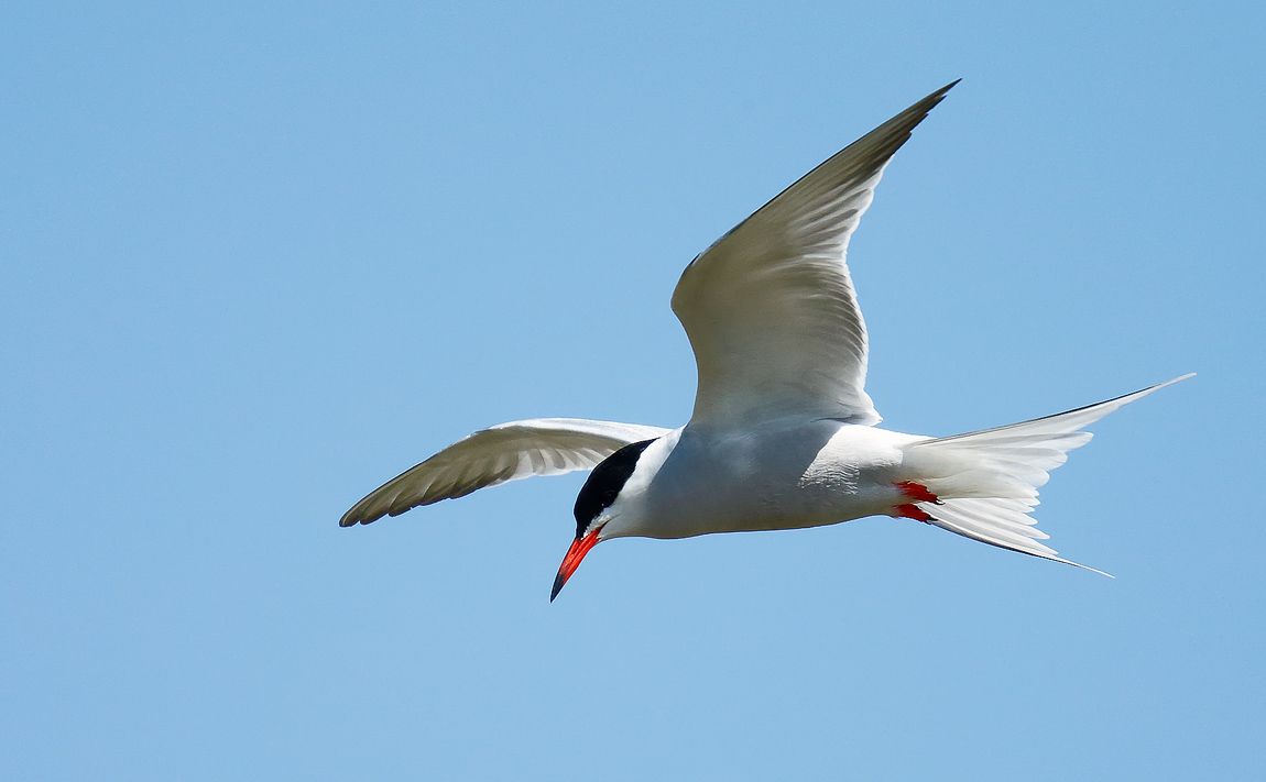 Common Tern_J4X3028