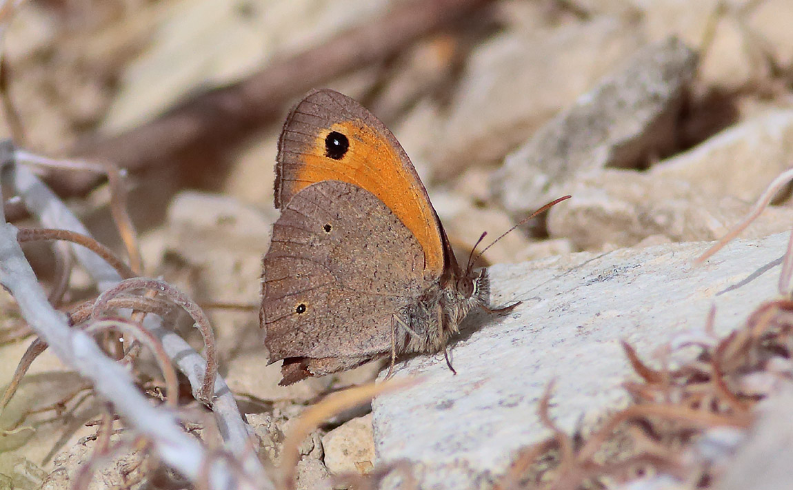 Meadow Brown_S1Q7995