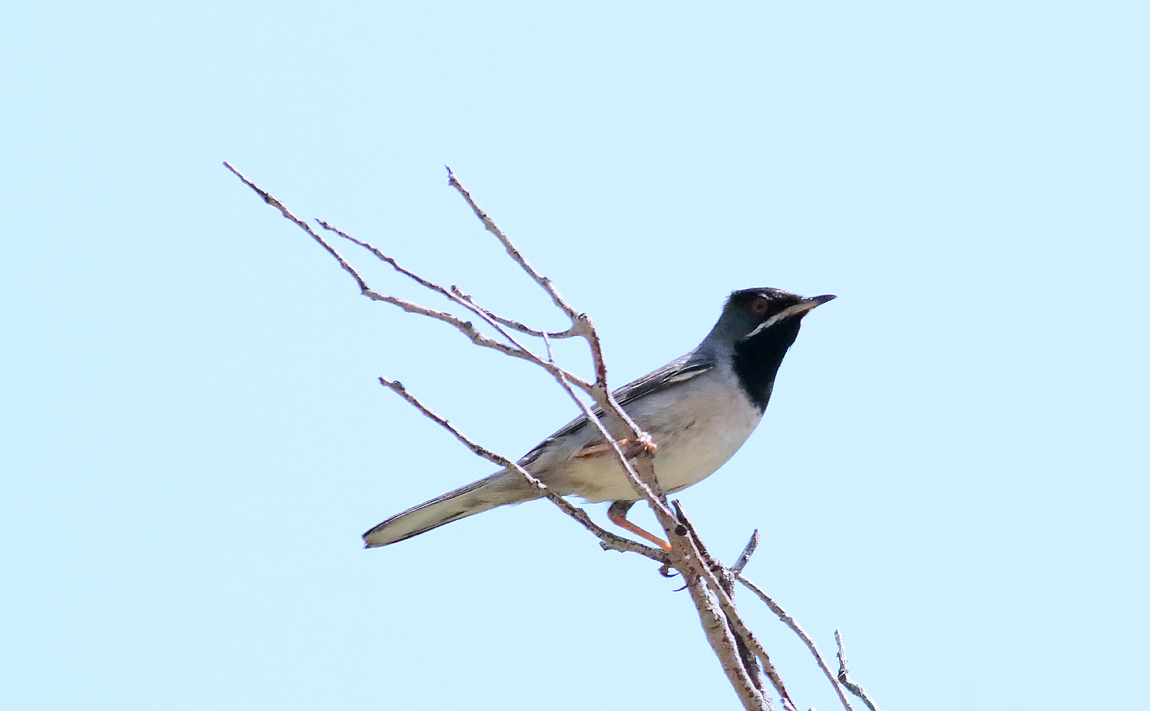 Ruppell's Warbler_S1Q8261