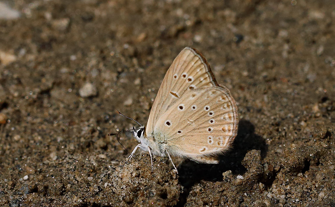 ANOMALOUS BLUE_J4X4856