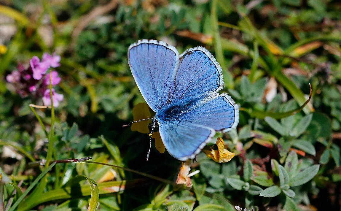 Adonis Blue_J4X5186