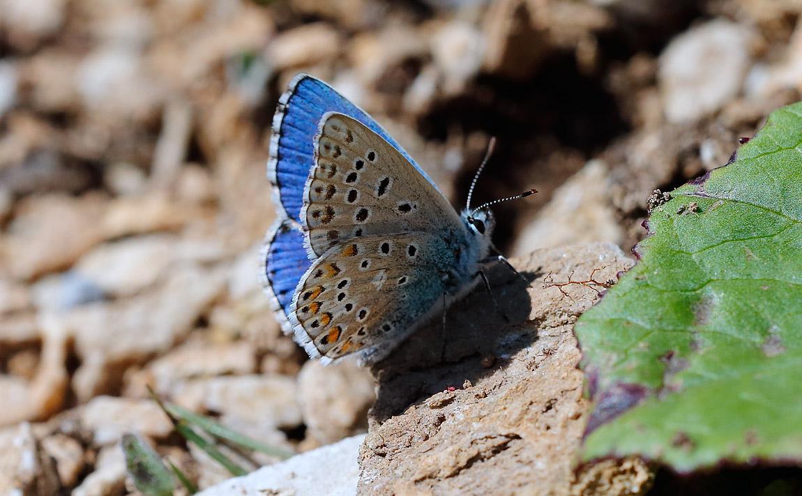 Adonis Blue_J4X5269