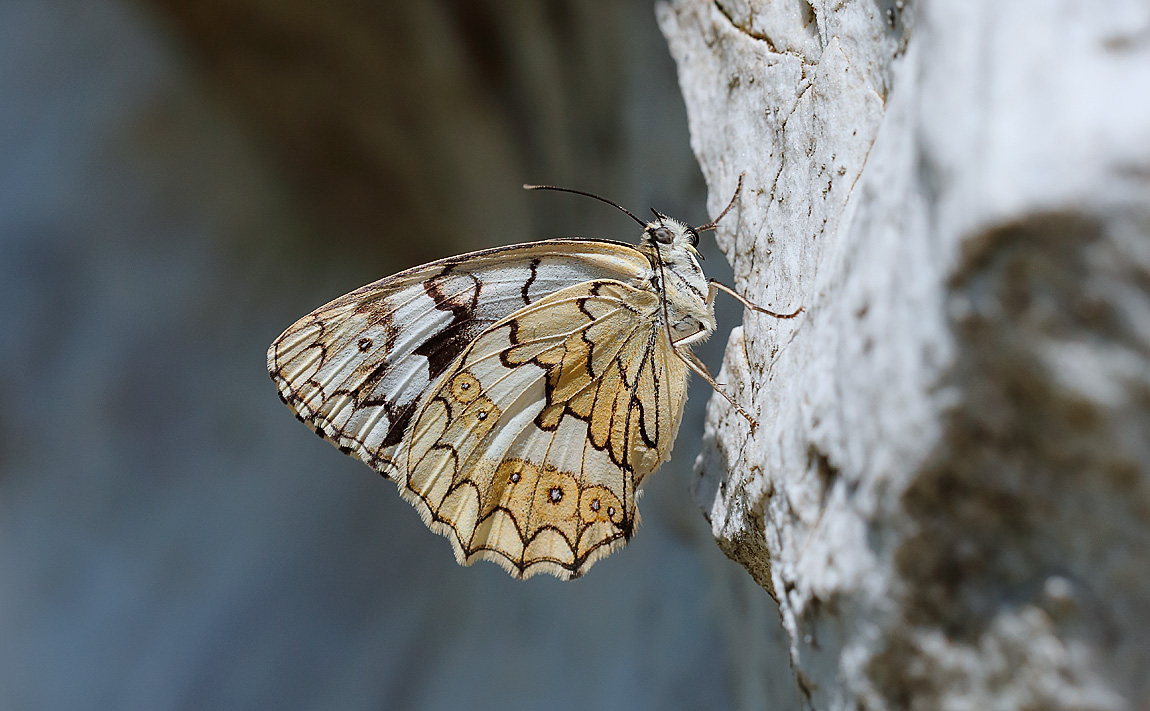 Balkan Marbled White_J4X5395