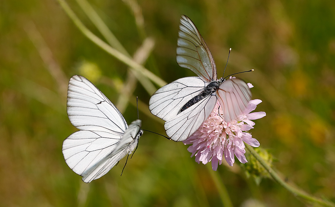 Black-veined White_J4X5782